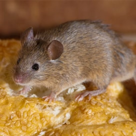 eastern pest management service mice pest control